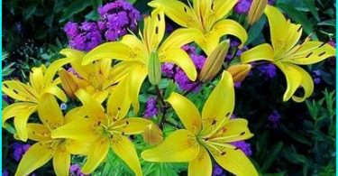 We grow lilies: planting and maintenance rules + secrets gardeners