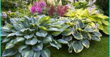"Hosta in landscape design: how to grow a ""shadow of the Queen"" in her garden"