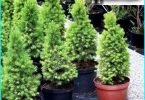 Spruce Konica glaucoma: planting and care at home + Bedding