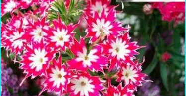 We grow phlox: growing from seed, planting spring + care