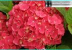 Hydrangea: the secrets of planting and care from experienced gardeners