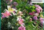 Lilies in landscape design: options planting, selection of varieties