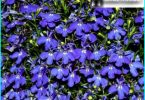 Lobelia: growing from seed, planting and maintenance, planting in the garden