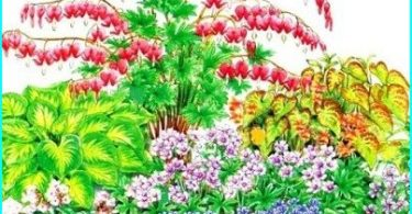 Cultivation, planting and care of Dicentra (broken heart)