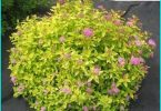 Spirea: planting rules and a master class on the care of the bush