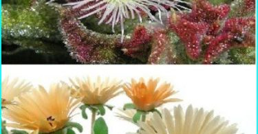 Decorate the garden with the help of a crystal grass (mesembryanthemum and Doroteantus)